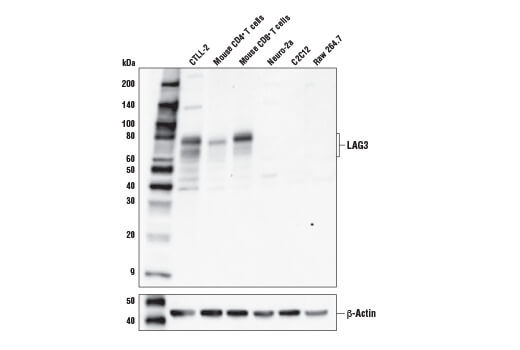 Monoclonal Antibody - LAG3 (E5S8V) Rabbit mAb - Western Blotting, UniProt ID Q61790, Entrez ID 16768 #80282, Lag3