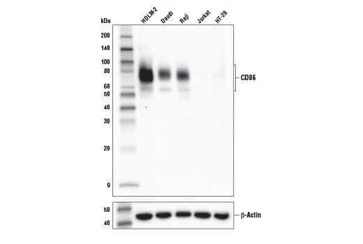 Western blot analysis of extracts from various cell lines using CD86 (E2G8P) Rabbit mAb (upper) or β-Actin (D6A8) Rabbit mAb #8457 (lower).