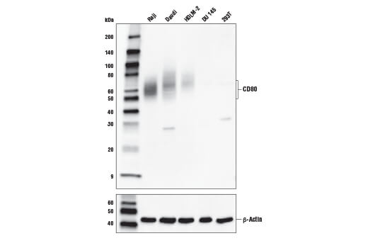 Western Blotting - CD80 (E3Q9V) Rabbit mAb
