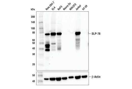 Monoclonal Antibody Western Blotting Mast Cell Activation