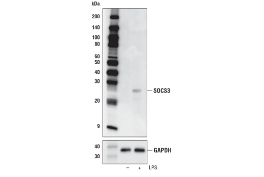Western blot analysis of extracts from mouse bone marrow derived macrophage (mBMDM) cell extracts, untreated (-) or treated with Lipopolysaccharides #14011 (LPS; 50 ng/ml, 4 hr; +), using SOCS3 (D6E1T) Rabbit mAb (upper) or GAPDH (D16H11) XP<sup>®</sup> Rabbit mAb #5174 (lower).