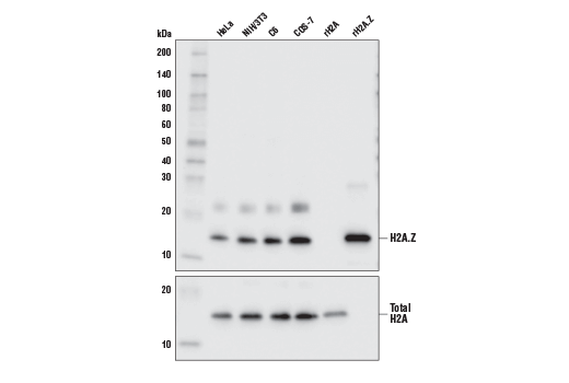 Western blot analysis of HeLa, NIH/3T3, C6, and COS-7 cell lysates, in addition to 10 ng of recombinant H2A (rH2A) and H2A.Z (rH2A.Z) proteins, using Histone H2A.Z (E9M5G) Rabbit mAb (upper) and Histone H2A (D6O3A) Rabbit mAb #12349 (lower).