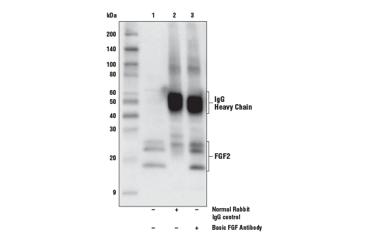Immunoprecipitation of basic FGF protein from SK-OV-3 cell extracts. Lane 1 is 10% input, lane 2 is Normal Rabbit IgG control #2729, and lane 3 is Basic FGF Antibody. Western blot analysis was performed using Basic FGF Antibody. Anti-rabbit IgG, HRP-linked Antibody #7074 was used as secondary antibody.