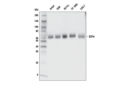 Western blot analysis of extracts from various cell lines using E2F4 (E3G2G) Rabbit mAb