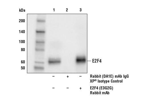 Monoclonal Antibody - E2F4 (E3G2G) Rabbit mAb, UniProt ID Q16254, Entrez ID 1874 #40291, Cell Cycle / Checkpoint