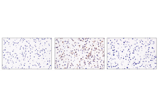 Immunohistochemical analysis of paraffin-embedded RAW 264.7 cell pellet, untreated (left, negative) or treated with Lipopolysaccharide (LPS) #14011 (middle, positive), and BaF3 cell pellet (right, negative) using CD40 (E2Z7J) Rabbit mAb.