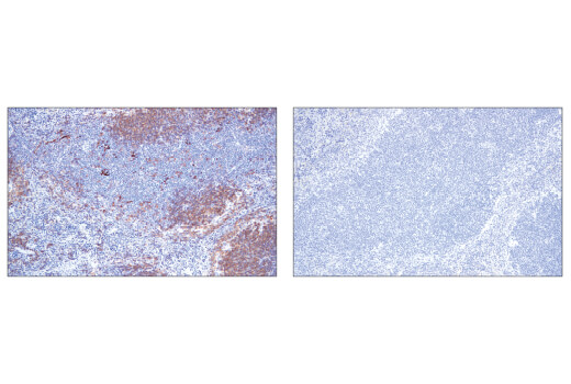 Immunohistochemical analysis of paraffin-embedded mouse spleen using CD40 (E2Z7J) Rabbit mAb (left) compared to concentration matched Rabbit (DA1E) mAb IgG XP<sup>®</sup> Isotype Control #3900 (right).