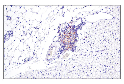 Immunohistochemical analysis of paraffin-embedded mouse adipose tissue using CD40 (E2Z7J) Rabbit mAb. Note staining of lymphoid cells and lack of staining in surrounding white and brown adipose tissues.