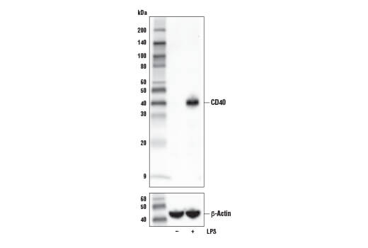 Western blot analysis of extracts from RAW 264.7 cells, untreated (-) or treated (+) with Lipopolysaccharide #14011 (LPS; 100 ng/ml, 7 hr), using CD40 (E2Z7J) Rabbit mAb (upper) and β-Actin (D6A8) Rabbit mAb #8457 (lower).