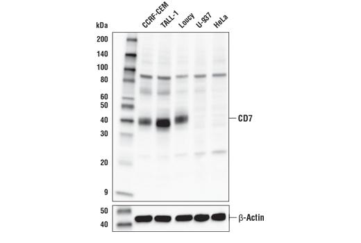 Polyclonal Antibody - CD7 Antibody - Western Blotting, UniProt ID P09564, Entrez ID 924 #35368 - Primary Antibodies