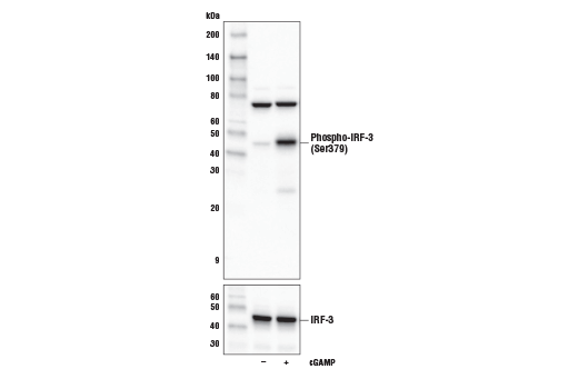 Western blot analysis of extracts from Raw 264.7 cells, untreated (-) or treated with cGAMP (10 μg/ml, 6 hr; +), using Phospho-IRF-3 (Ser379) (E6F7Q) Rabbit mAb (upper) or IRF-3 (D83B9) Rabbit mAb #4302 (lower).