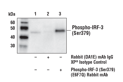 Immunoprecipitation of Phospho-IRF-3 (Ser379) from Raw 264.7 cell extracts treated with poly(dA:dT) (2 μg/ml, 6 hr). Lane 1 is 10% input, lane 2 is Rabbit (DA1E) mAb IgG XP<sup>®</sup> Isotype Control #3900, and lane 3 is Phospho-IRF-3 (Ser379) (E6F7Q) Rabbit mAb. Western blot analysis was performed using Phospho-IRF-3 (Ser379) (E6F7Q) Rabbit mAb. Mouse Anti-rabbit IgG (Conformation Specific) (L27A9) mAb (HRP Conjugate) #5127 was used for detection.