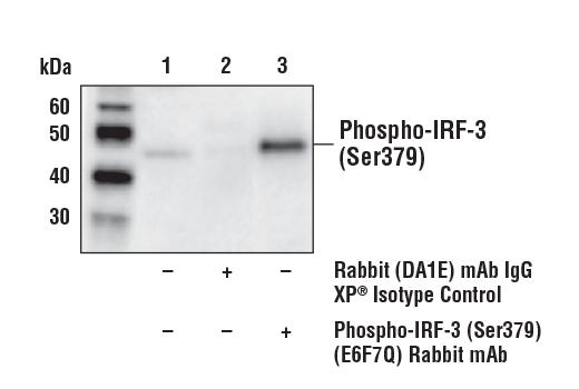 Monoclonal Antibody - Phospho-IRF-3 (Ser379) (E6F7Q) Rabbit mAb, UniProt ID P70671, Entrez ID 54131 #79945 - #79945
