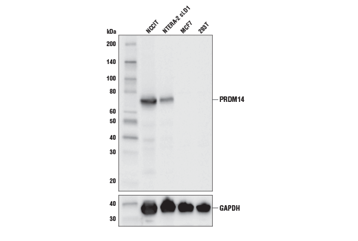 Western blot analysis of extracts from various cell lines using PRDM14 (E1D5S) XP<sup>®</sup> Rabbit mAb (upper) and GAPDH (D16H11) XP<sup>®</sup> Rabbit mAb #5174 (lower). As expected, MCF7 and 293T are negative for PRDM14 expression.