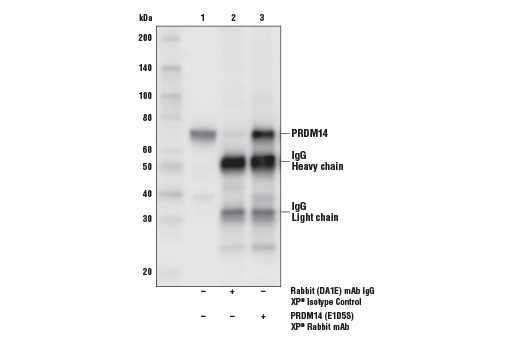 Immunoprecipitation of PRDM14 from NCCIT cell extracts. Lane 1 is 10% input, lane 2 is Rabbit (DA1E) mAb IgG XP<sup>®</sup> Isotype Control #3900, and lane 3 is PRDM14 (E1D5S) XP<sup>®</sup> Rabbit mAb. Western blot analysis was performed using PRDM14 (E1D5S) XP<sup>®</sup> Rabbit mAb.
