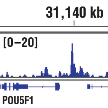 Chromatin immunoprecipitations were performed with cross-linked chromatin from NCCIT cells and PRDM14 (E1D5S) XP<sup>®</sup> Rabbit mAb, using SimpleChIP<sup>®</sup> Plus Enzymatic Chromatin IP Kit (Magnetic Beads) #9005. DNA libraries were prepared using SimpleChIP<sup>®</sup> ChIP-seq DNA Library Prep Kit for Illumina<sup>®</sup> #56795. The figures show binding across POU5F1/Oct-4, a known target gene of PRDM14 (see additional figure containing ChIP-qPCR data). For additional ChIP-seq tracks, please download the product data sheet.
