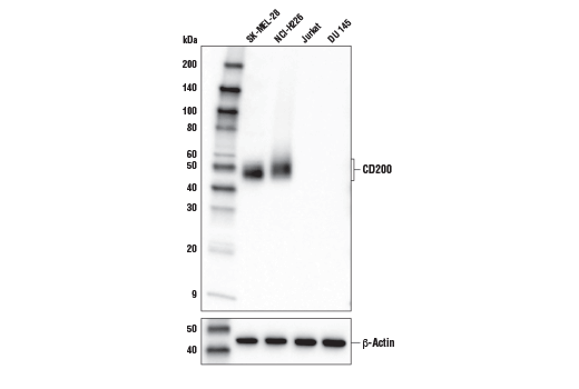 Western blot analysis of extracts from various cell lines using CD200 (E2K4C) Rabbit mAb (upper) or β-Actin (D6A8) Rabbit mAb #8457 (lower).