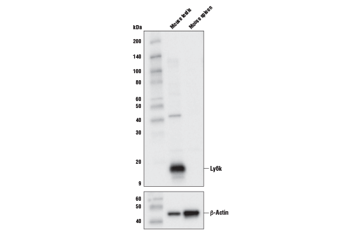 Polyclonal Antibody - Ly6k Antibody (Mouse Specific) - Western Blotting, UniProt ID Q9CWP4, Entrez ID 76486 #15224 - Immunology and Inflammation