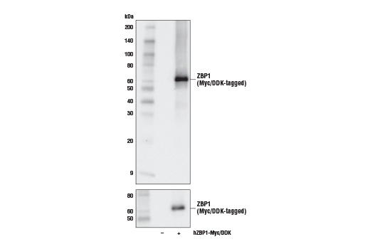 Western blot analysis of extracts from 293T cells, mock transfected (-) or transfected with a construct expressing Myc/DDK-tagged full-length human ZBP1 (hZBP1-Myc/DDK; +), using ZBP1 Antibody (upper) or Myc Tag (71D10) Rabbit mAb #2278 (lower).