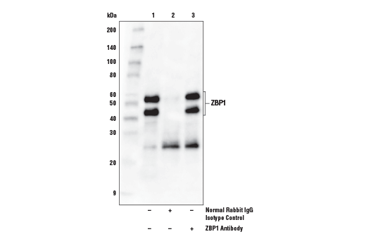 Polyclonal Antibody - ZBP1 Antibody - Immunoprecipitation, Western Blotting, UniProt ID Q9H171, Entrez ID 81030 #60968 - Immunology and Inflammation