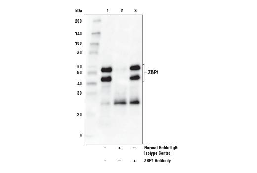Polyclonal Antibody - ZBP1 Antibody - Immunoprecipitation, Western Blotting, UniProt ID Q9H171, Entrez ID 81030 #60968, Zbp1