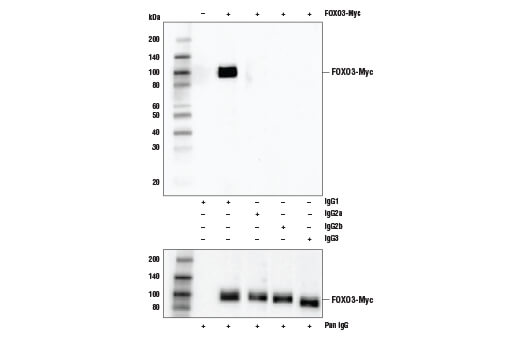 Western blot analysis of extracts from untransfected control cells and transfected cells overexpressing FOXO3-Myc using Myc-Tag (E7F9B) Mouse mAb as the primary antibody. Various anti-mouse isotype specific antibodies (upper) and Anti-mouse IgG, HRP-linked Antibody #7076 (lower) were used as secondary antibodies.
