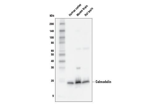 Monoclonal Antibody Detection of Calcium Ion