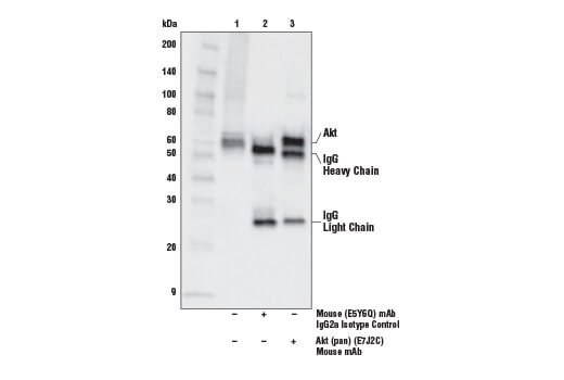 Immunoprecipitation of Akt protein from Jurkat cell extracts. Lane 1 is 10% input, lane 2 is Mouse (E5Y6Q) mAb IgG2a Isotype Control #61656, and lane 3 is Akt (pan) (E7J2C) Mouse mAb. Western blot analysis was performed using Akt (pan) (E7J2C) Mouse mAb.