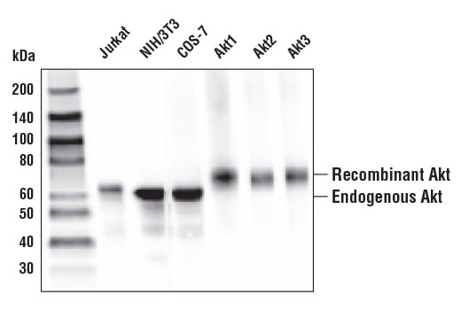 Western blot analysis of various cell lines and recombinant Akt1, Akt2 and Akt3 proteins using Akt (pan) (E7J2C) Mouse mAb. Recombinant Akt1, Akt2 and Akt3 each contain an N-terminal 6XHis and FLAG-Tag, MW=66kDa.