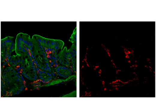 Monoclonal Antibody Immunofluorescence Frozen VISTA Mouse - count 3
