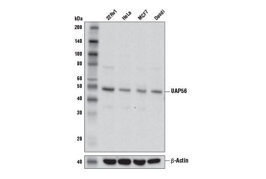 Western blot analysis of extracts from various cell lines using UAP56 Antibody (upper) and β-Actin (D6A8) Rabbit mAb #8457 (lower).