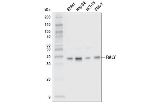 Polyclonal Antibody - RALY Antibody - Western Blotting, UniProt ID Q9UKM9, Entrez ID 22913 #70142, Raly