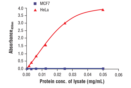 Figure 1. The relationship between protein concentration of lysates from HeLa cells and MCF7 cells and the absorbance at 450 nm as detected by the FastScan™ Total Vimentin ELISA Kit #87105 is shown. HeLa and MCF7 cells were grown to 80-90% confluence at 37°C and then lysed.