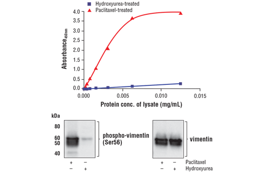 Figure 1. Treatment of HeLa cells with Paclitaxel stimulates phosphorylation of vimentin at Ser56, while treatment with hydroxyurea reduces that phosphorylation. Neither treatment affects levels of total vimentin. The relationship between lysate protein concentration from Paclitaxel treated and hydroxyurea treated HeLa cells and the absorbance at 450 nm using the FastScan™ Phospho-Vimentin (Ser56) ELISA Kit #38107 is shown in the upper figure. The corresponding western blots using phospho-vimentin (Ser56) antibody (left panel) and vimentin antibody (right panel) are shown in the lower figure. HeLa cells were treated with 100 nM Paclitaxel #9807 or 4 mM hydroxyurea for 18 hr at 37°C and then lysed.