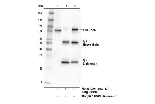 Immunoprecipitation of TBK1/NAK from K-562 cell extracts. Lane 1 is 10% input, lane 2 is Mouse (G3A1) mAb IgG1 Isotype Control #5415, and lane 3 is TBK1/NAK (E9H5S) Mouse mAb. Western blot analysis was performed using TBK1/NAK (E9H5S) Mouse mAb.
