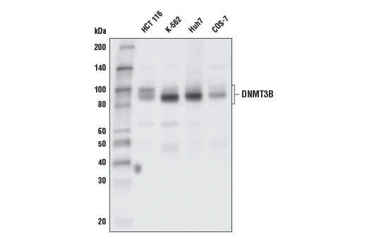 Western blot analysis of extracts from various cell lines using DNMT3B (E8A8A) XP<sup>®</sup> Rabbit mAb.