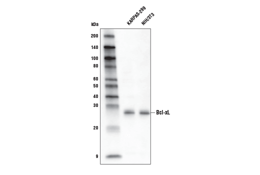 Western blot analysis of extracts from cell lines KARPAS-299 and NIH/3T3 using Bcl-xL (54H6) Rabbit mAb (HRP Conjugate). KARPAS cell line source: Dr. Abraham Karpas at the University of Cambridge.