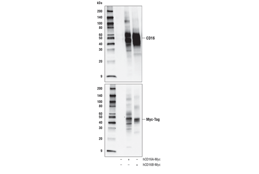Western blot analysis of extracts from 293T cells, untransfected (-) or transfected (+) with construct expressing human Myc-tagged CD16A or human Myc-tagged CD16B, using CD16 (D5Q8N) Rabbit mAb (upper) or Myc-Tag (71D10) Rabbit mAb #2278 (lower).