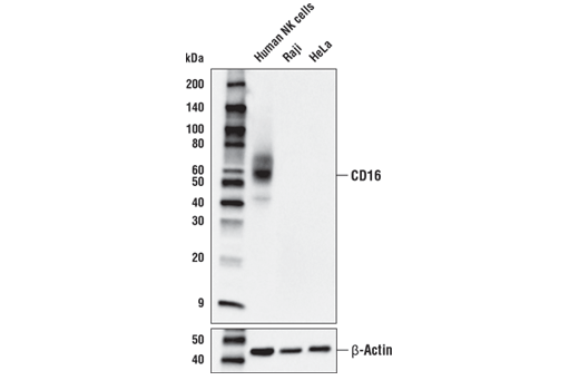 Western blot analysis of extracts from Human NK cells, Raji cells, and HeLa cells using CD16 (D5Q8N) Rabbit mAb (upper) and β-Actin (D6A8) Rabbit mAb #8457 (lower).