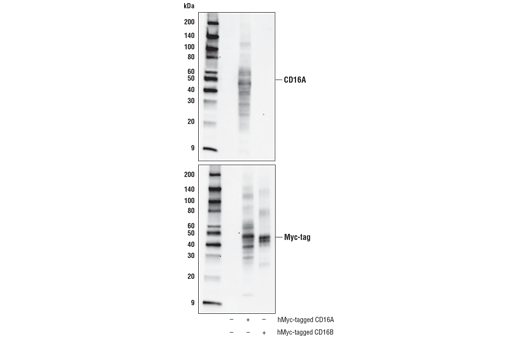 Western blot analysis of extracts from 293T cells, untransfected (-) or transfected (+) with construct expressing human Myc-tagged CD16A or human Myc-tagged CD16B, using CD16A (D8W2O) Rabbit mAb (upper) or Myc-Tag (71D10) Rabbit mAb #2278 (lower).