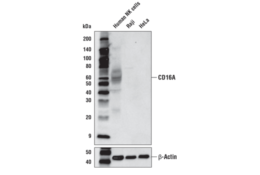 Western blot analysis of extracts from Human NK cells, Raji cells, and HeLa cells using CD16A (D8W2O) Rabbit mAb (upper) and β-Actin (D6A8) Rabbit mAb #8457 (lower).