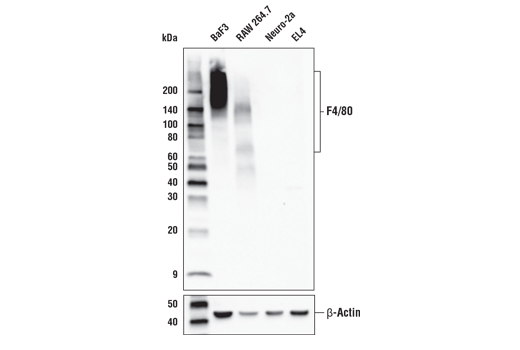 Image 34: Mouse Microglia Marker IF Antibody Sampler Kit