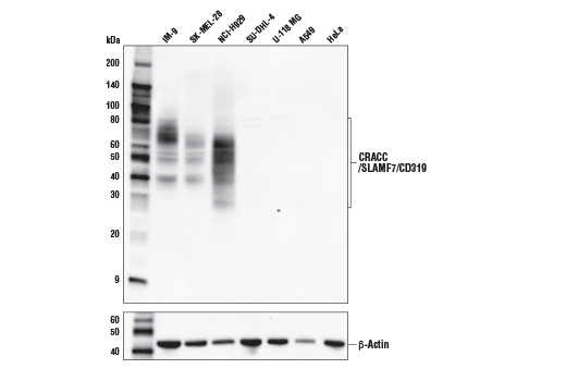 Western blot analysis of extracts from various human cells using CRACC/SLAMF7/CD319 (E5C4M) Rabbit mAb (upper) and β-Actin (D6A8) Rabbit mAb #8457 (lower).