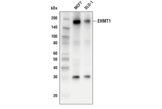 Western blot analysis of extracts from MCF7 and DLD-1 cell lines using EHMT1 (E6Q8B) Rabbit mAb.