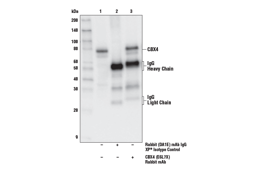 Immunoprecipitation of CBX4 from MCF7 cell extracts. Lane 1 is 10% input, lane 2 is Rabbit (DA1E) mAb IgG XP<sup>®</sup> Isotype Control #3900, and lane 3 is CBX4 (E6L7X) Rabbit mAb. Western blot analysis was performed using CBX4 (E6L7X) Rabbit mAb.