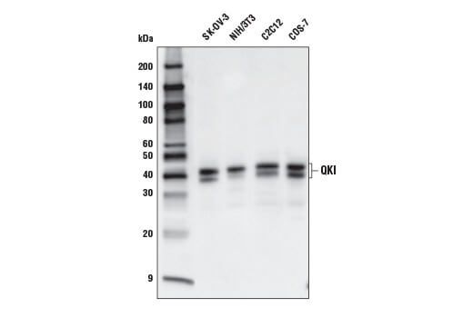 Western blot analysis of extracts from various cell lines using QKI Antibody.