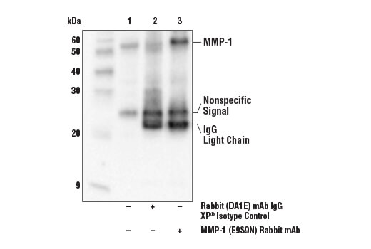 Immunoprecipitation of MMP-1 protein from SCaBER cell extracts. Lane 1 is 10% input, lane 2 is Rabbit (DA1E) mAb IgG XP<sup>®</sup> Isotype Control #3900, and lane 3 is MMP-1 (E9S9N) Rabbit mAb. Western blot analysis was performed using MMP-1 (E9S9N) Rabbit mAb. Anti-rabbit IgG (light chain specific), HRP-linked Antibody was used as secondary antibody.