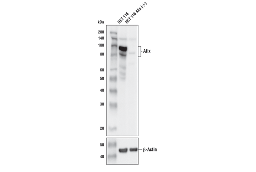 Western blot analysis of extracts from HCT 116 and HCT 116 Alix knockout (-/-) cells using Alix (E4T7U) Rabbit mAb (upper) or β-Actin (D6A8) Rabbit mAb #8457 (lower).
