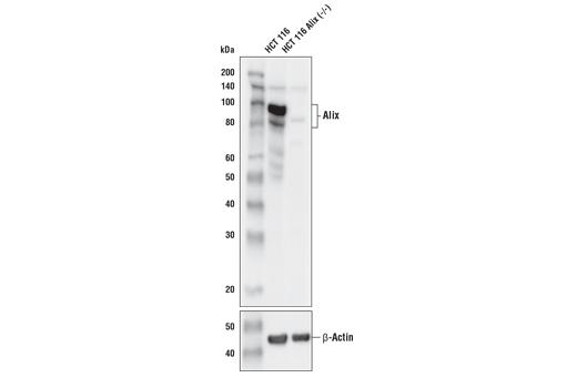 Monoclonal Antibody - Alix (E4T7U) Rabbit mAb - Western Blotting, UniProt ID Q8WUM4, Entrez ID 10015 #18269