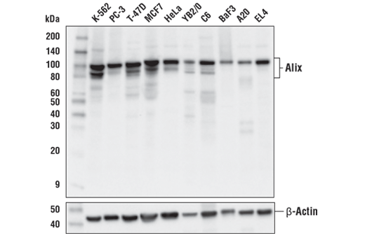 Western blot analysis of extracts from various cell lines using Alix (E4T7U) Rabbit mAb (upper) or β-Actin (D6A8) Rabbit mAb #8457 (lower).